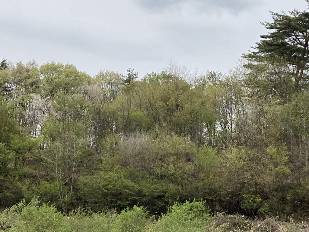 遅く咲く桜は 散るのも遅い